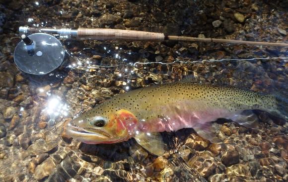 A Beautiful Marsh Creek Cutthroat Trout.