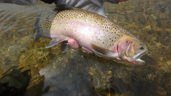 Fly fishing nymphs on bear valley creek in idaho for Bear creek fishing