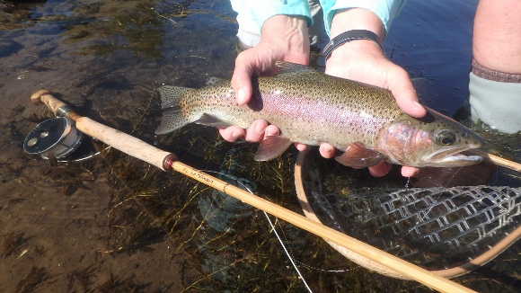 A beautiful Deschutes River Rainbow on the micro spey rod.